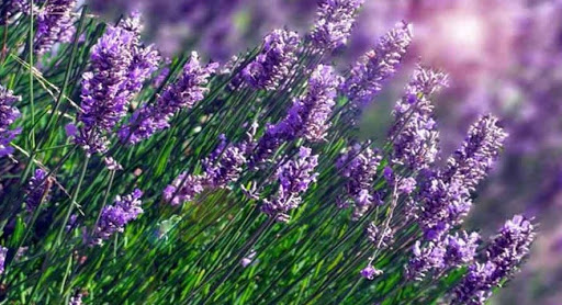 daun lavender
